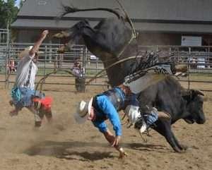 fair_bulls02_pu